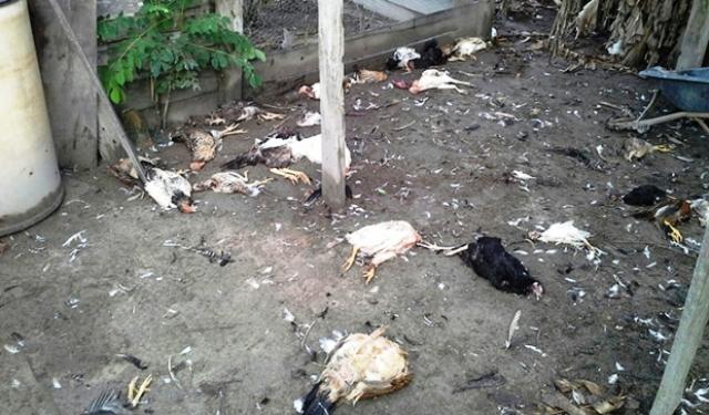 morte-de-90-frangos